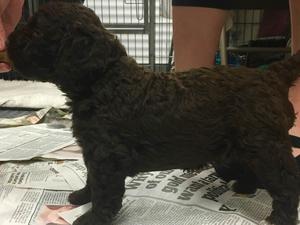 pup girl 3 1/2 weeks old