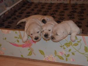 pups at 2 1/2 weeks old