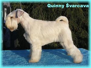 Ch. Quinny �varcava