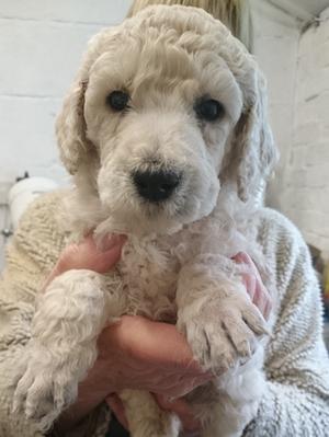 6 week old puppy