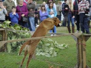 Amber at Gundog Demo Royal County of Berkshire