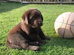 6 weeks old, a Sabi puppy.
