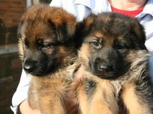 Reyanheath Puppies
