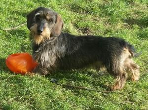 Bertie our blacktan brindle stud dog.