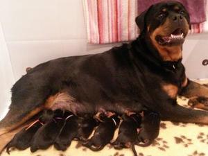 H Litter Puppies