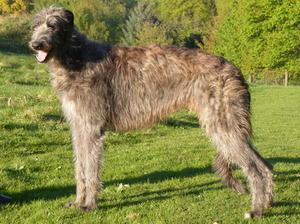Deerhound picture