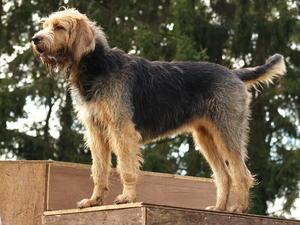 otter hound hakkında genel bilgiler