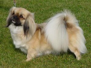 Tibetan Spaniel Dogs With Images Tibetan Spaniel Spaniel Dog