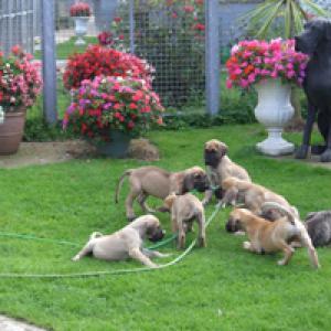 Vanmore Puppies
