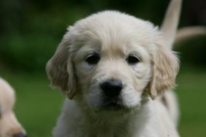 Typical Sonham Golden Retriever puppy