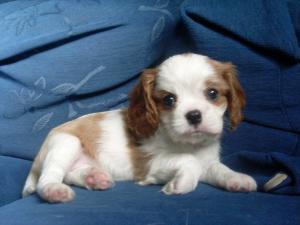 blenheim puppy