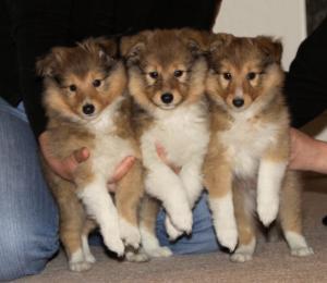 Karmidale puppies