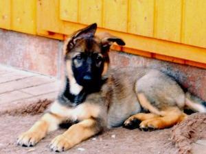 Julischka von der Sandkautschniese (as a puppy)