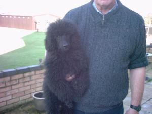 Black miniature poodle puppies