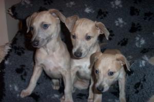 Puppies 7 weeks.