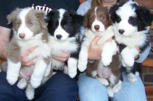pups 7 weeks
