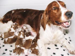 Pedigree Kc Registered Welsh Springer Spaniel Puppies In