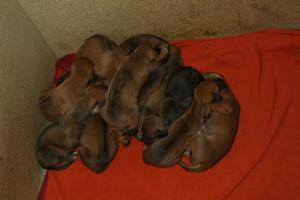 puppies at 2wks