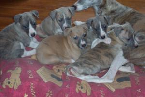 puppies @ 5 weeks