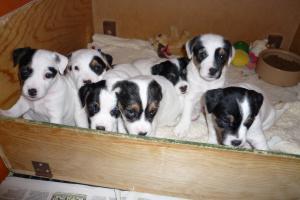 Puppies at 5 weeks