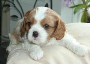 Verheyen Puppy now sold