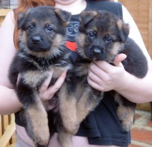 2 boy pups at 5.5 weeks