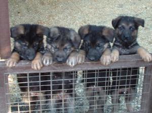 7 week old pups