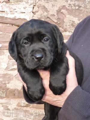 Female pup - 6weeks old