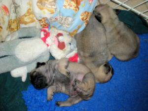 Puppies 4 weeks old