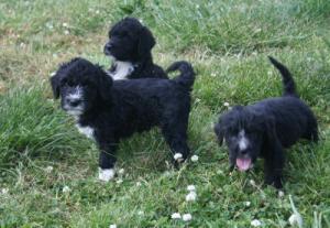 Belles Puppies