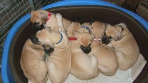 Pups at 6 Weeks.