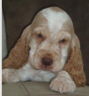 Orange roan dog puppy