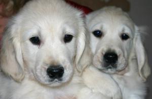 enya's pups at 8 weeks