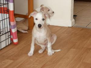 Pup 9 weeks old