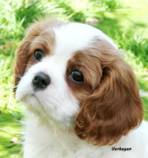 Blenheim dog puppy