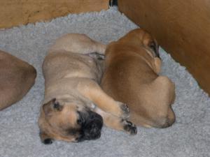 Litter Pups