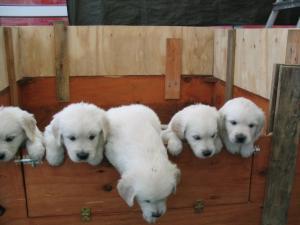 Asti 's pups at 5 weeks old