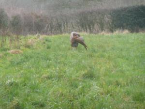 Hattie retrieving a pheasant