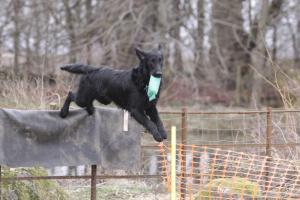 Ghillie at Gundog Training