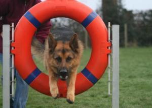 Jed enjoying his agility training